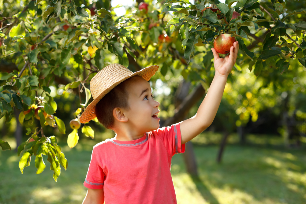 Little-boy-picking-an-apple-off-tree-theplayfulmoments