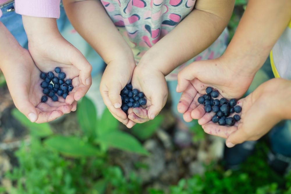 Three kids hands holding blueberries